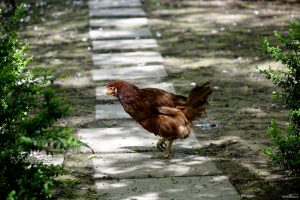 walking-chick_small